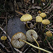 Two new species of Xanthagaricus and ...