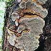 Three new species of Fomitiporella (Hymenochaetales, ...