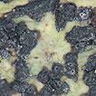 Architrypethelium murisporum (Ascomycota, ...