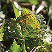 Puccinia modiolae in North America: distribution ...