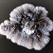 Liberomyces pistaciae sp. nov., the causal ...