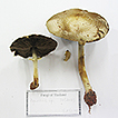A new section and species of Agaricus ...
