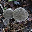 Three new species of Entoloma subgenus ...