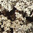 Bacidia albogranulosa (Ramalinaceae, ...