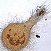 Melanospora (Sordariomycetes, Ascomycota) ...