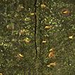 Species of Dendrostoma (Erythrogloeaceae, ...