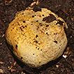 Stephanospora mayana (Stephanosporaceae, ...