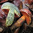 Neoboletus antillanus sp. nov. (Boletaceae), ...