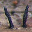 Striatiguttulaceae, a new pleosporalean ...