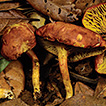 Two new species of Phylloporus (Fungi, ...