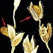 Diversity of Moesziomyces (Ustilaginales, ...