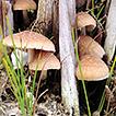 A new species of Psathyrella (Psathyrellaceae, ...