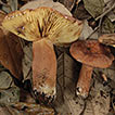 Two new species of Lactifluus (Fungi, ...