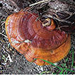 Additions to the knowledge of Ganoderma ...