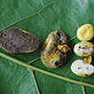 Longistriata flava (Boletaceae, Basidiomycota) ...