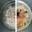 Diseases of Cymbopogon citratus (Poaceae) ...