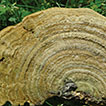 Diversity of Trametes (Polyporales, Basidiomycota) ...