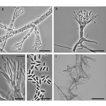 Two new species of Ophiostomatales (Sordariomycetes) ...