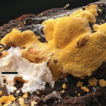 Two new species of Perenniporia (Polyporales, ...