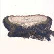 A new lichenized fungus, Lecanora baekdudaeganensis, ...