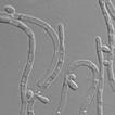 Three new Scheffersomyces species associated ...