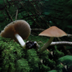 A new genus and four new species in the ...