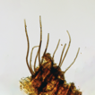 Phylogeny and taxonomy of Catenularia ...
