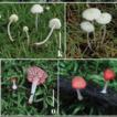 Updated description of Atheniella (Mycenaceae, ...