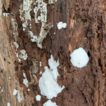 Two new brown rot polypores from tropical C ...