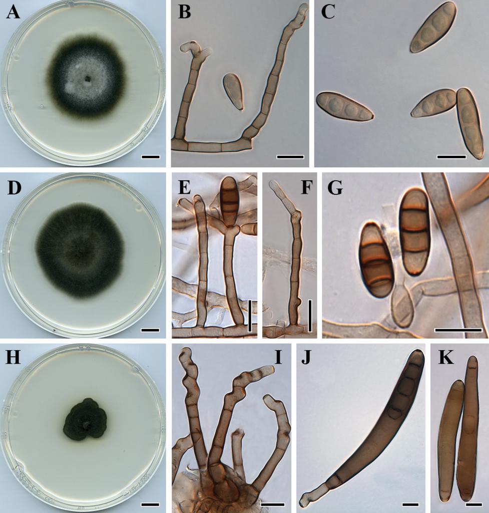 helminthosporium ravenelii)