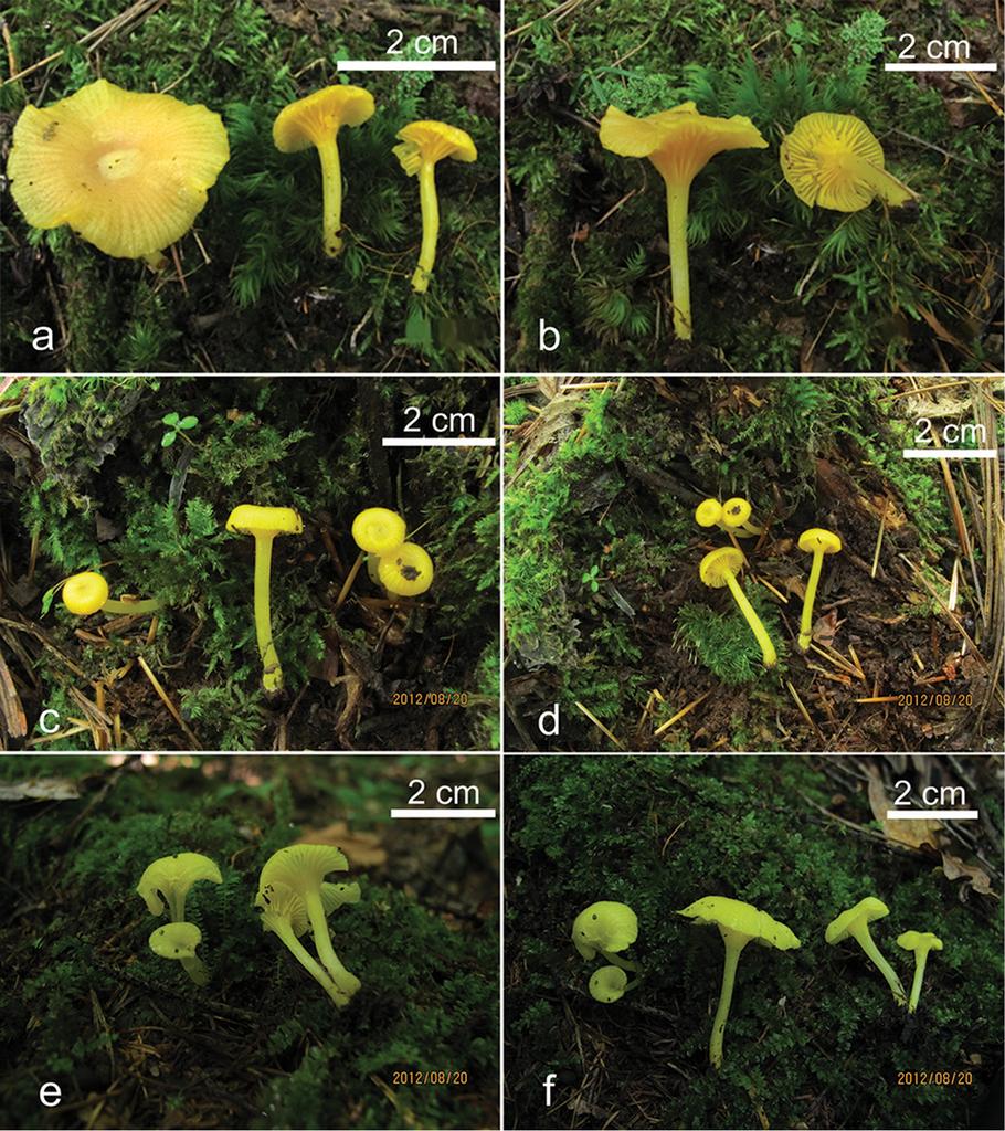 Additions to tribe Chromosereae (Basidiomycota