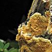 Polypores and genus concepts in Phanerochaetaceae (Polyporales, Basidiomycota)