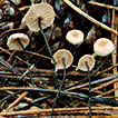 Micromphale sect. Perforantia (Agaricales, Basidiomycetes); Expansion and phylogenetic placement