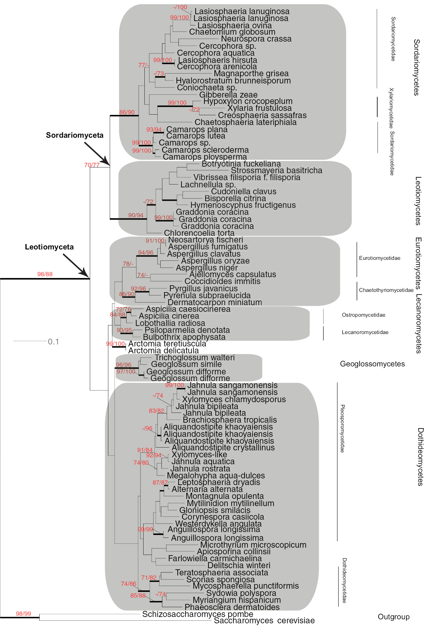 Testing the phylogenetic utility of MCM7 in the Ascomycota